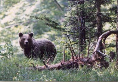 Маркирана мечка беше убита в Балкана над Енина
