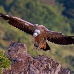 """Отровени са белоглави лешояди от Природен парк """"Врачански Балкан"""""""