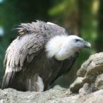 Търсят отровите-убийци на белоглави лешояди в Кресненското дефиле