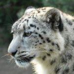 Снежен леопард засне камера в планините на Китай (ВИДЕО)