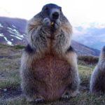 МАРМОТИТЕ - на гости на стопаните на планините