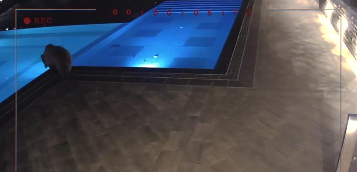 мечка в басейна на лифт сопот