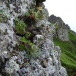 """Мониторинг на находищата на жълта тинтява и скален пелин в НП """"Централен Балкан"""""""
