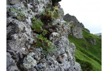 скален пелин централен балкан
