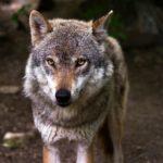 Вълци изплашиха двама туристи под вр. Ботев